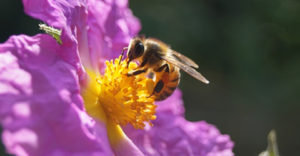 The Honey Bee: The Most Important 'Pest' in the World