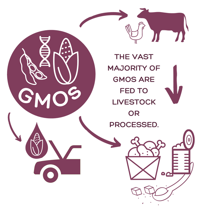 Graphic showing what happens to GMOs